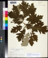 Quercus × deamii image