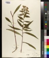 Symphyotrichum novi-belgii image