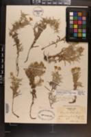 Chrysopsis ruthii image