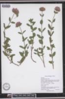 Monardella villosa image