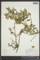 Philadelphus inodorus var. laxus image