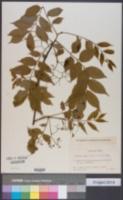 Picrasma quassioides image