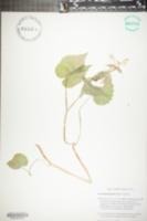 Synandra hispidula image