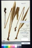 Pteroglossaspis ecristata image