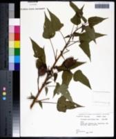 Hibiscus militaris image