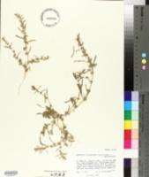 Image of Amaranthus scleropoides