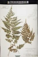 Image of Athyrium distans