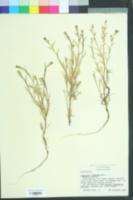 Image of Lepidium nitidum