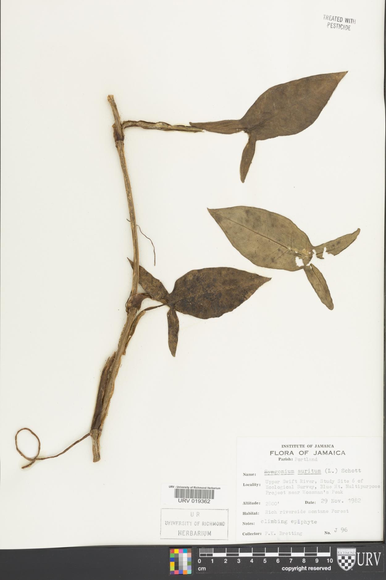 Syngonium auritum image