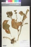 Image of Solanum hernandesii