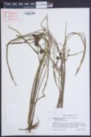 Sparganium fluctuans image
