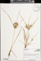 Cyperus microiria image