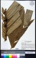 Image of Astrocaryum alatum