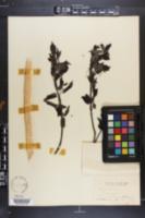 Acer saccharinum image