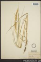 Image of Calamagrostis macouniana