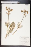 Image of Geum sylvaticum