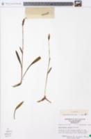 Spiranthes ovalis image