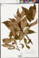 Carya ovalis image