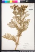 Image of Tanacetum douglasii