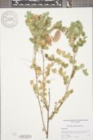 Colutea arborescens image