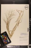 Leptochloa panicea subsp. brachiata image