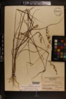 Sorghastrum elliottii image