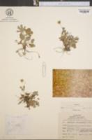 Potentilla canadensis image