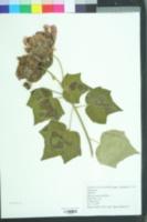 Image of Hibiscus macrophyllus