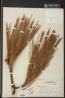 Image of Pinus pinaster
