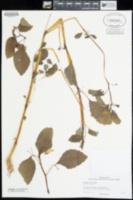 Impatiens aurella image