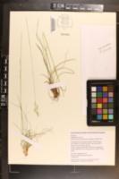 Image of Danthonia sericea