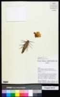 Opuntia anacantha image