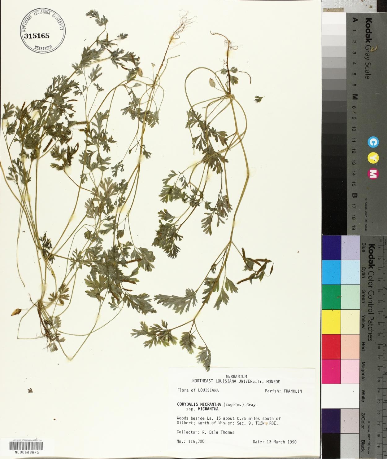 Fumariaceae image
