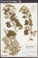 Image of Chrysanthemum pacificum
