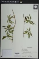 Merremia dissecta image