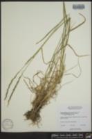 Image of Elymus alaskanus