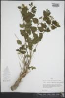 Perityle lindheimeri image
