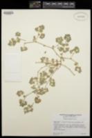 Chamaesyce leucophylla image