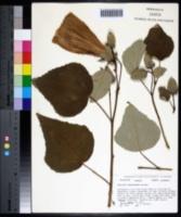 Hibiscus grandiflorus image