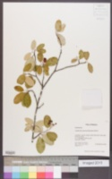 Image of Amelanchier nervosa
