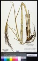 Image of Chrysopogon nigritanus