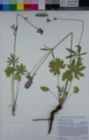 Sidalcea setosa image
