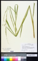 Image of Glyceria arkansana