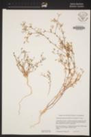 Allophyllum glutinosum image