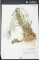 Dichanthelium acuminatum subsp. fasciculatum image