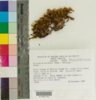 Image of Aulacomnium palustre