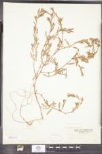 Polygonum ramosissimum var. prolificum image