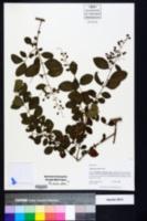 Ligustrum sinense image