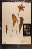 Image of Sarracenia formosa