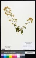 Image of Mikania cordifolia